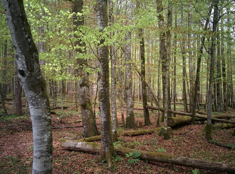Green trees in the forest with an old trees laying on the ground stock image