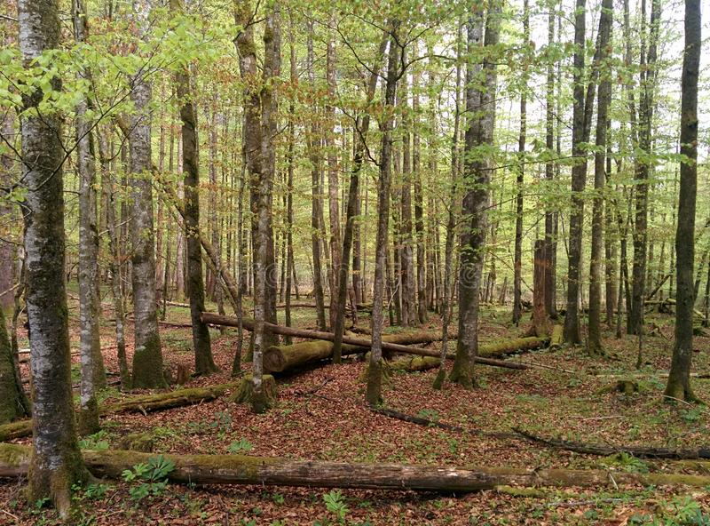 Green trees in the forest with an old trees laying on the ground royalty free stock photography