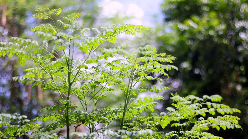 Green trees plant with leaves isolated in green bokeh blurred background with blue sky, can use as blurred background. Selective focus on foreground. Natural stock images