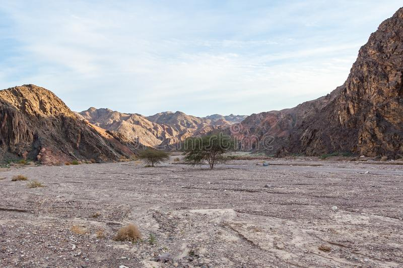 Green trees and plants growing in middle of rocky landscapes of Eilat desert. In Israel royalty free stock images