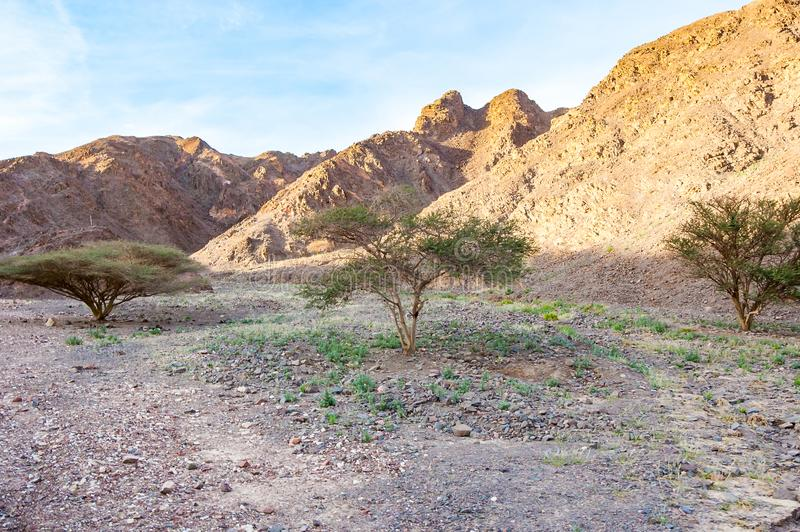Green trees and plants growing in middle of rocky landscapes of Eilat desert. In Israel royalty free stock photography