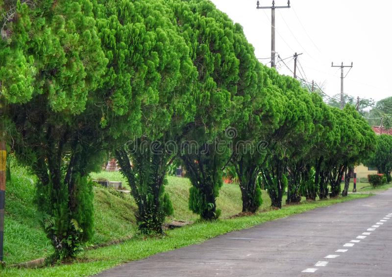 Green trees on the roadside. Function as air pollution absorbers and can also make the streets more beautiful and healty royalty free stock photography