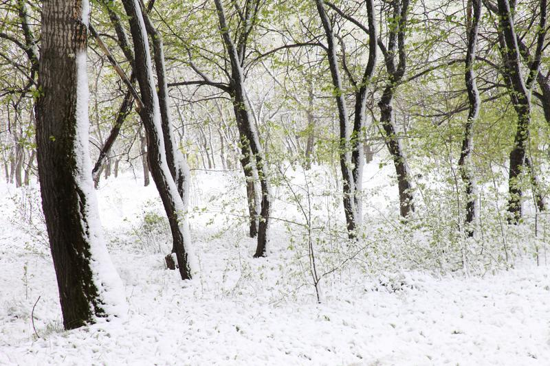 Green trees in the snow. Aspen. Spring in Siberia.  royalty free stock images