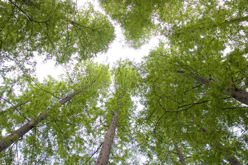 Green trees upwards. Great green trees upwards the sky,taken in spring time royalty free stock images
