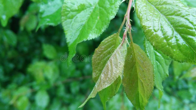 Green Tress. Green forest tress stock image