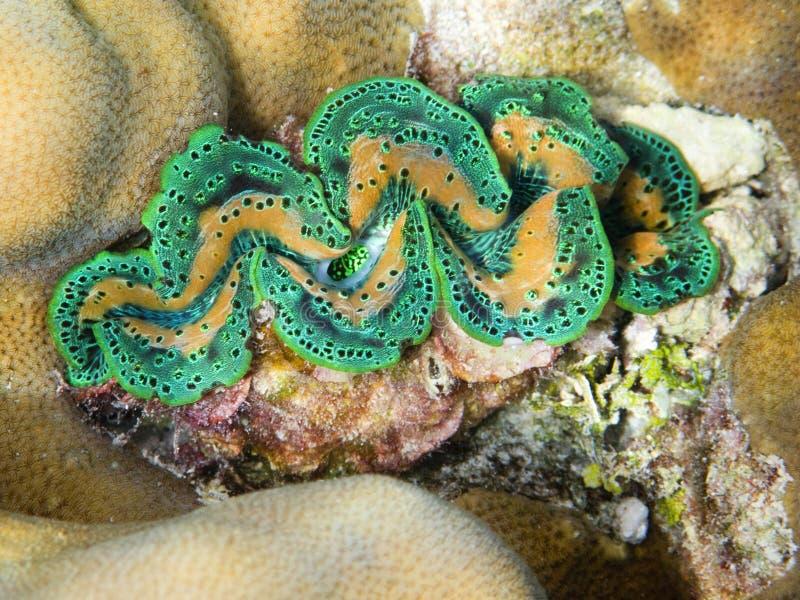 Download Green Tridacna stock image. Image of mollusk, tridacna - 9410907