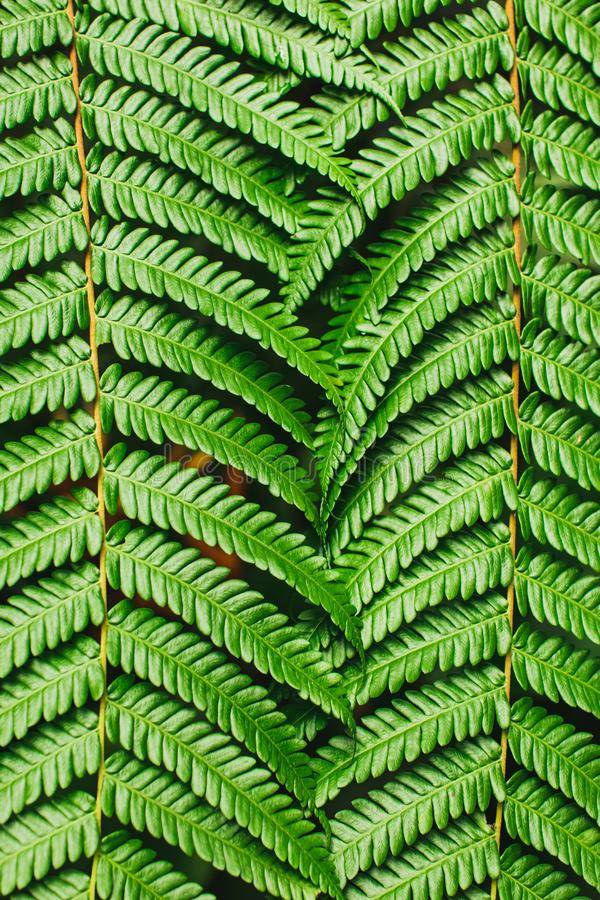 Green tropical background. Perfect fern leaves texture. Abstract lines in nature. Geometric figure. Nature concept, vertical photo stock image