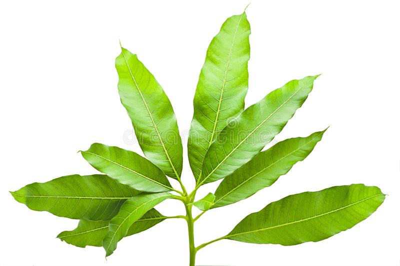 Green tropical leaf mango tree from nature isolated,mango leaves stock photo