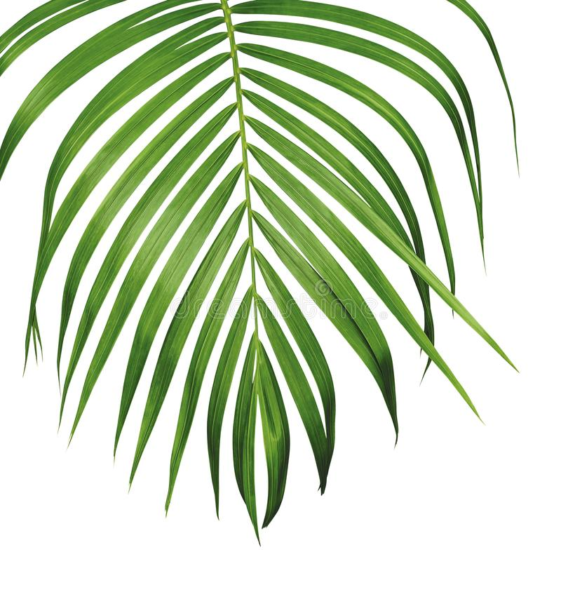 Green tropical leaf of yellow palm isolated on white background stock images