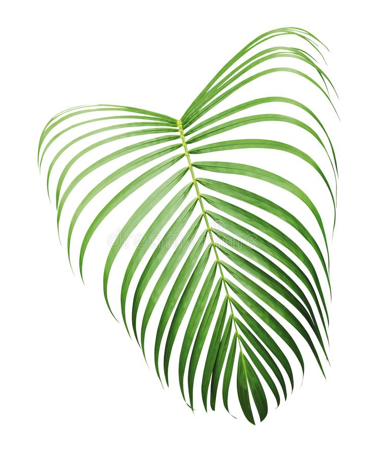 Green tropical leaf of yellow palm isolated on white background royalty free stock photos
