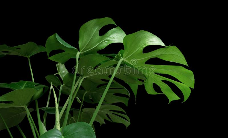 Green tropical leaves Monstera ornamental plant jungle evergreen vine on white background stock photos