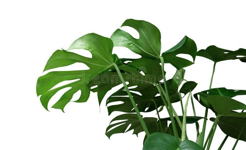 Green tropical leaves Monstera ornamental plant jungle evergreen vine on white background. Green tropical leaves Monstera ornamental plant jungle evergreen vine stock photography