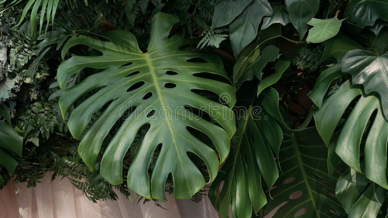 Green tropical leaves Monstera, palm, fern and ornamental plants backdrop background. stock photography