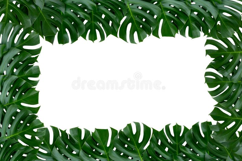 Green tropical monstera plant leaves nature border on white background royalty free stock images