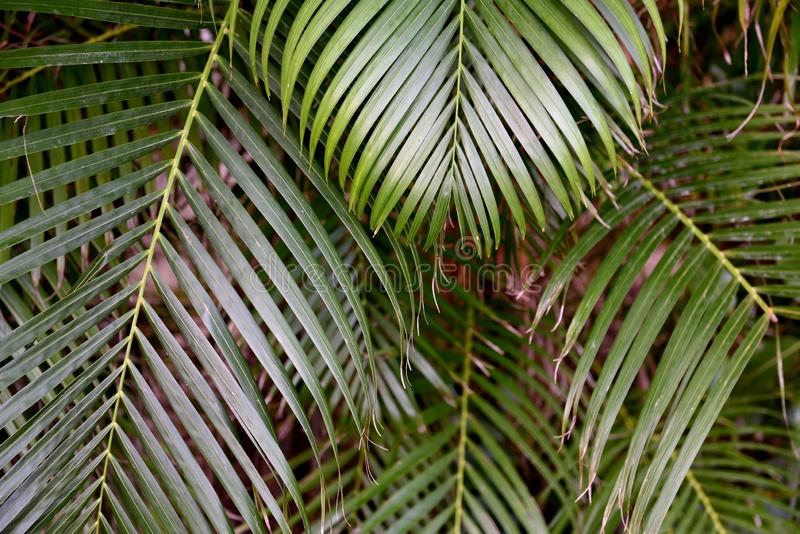 Green tropical palm fond leaves with exotic shapes and textures in Southern Florida. USA royalty free stock images