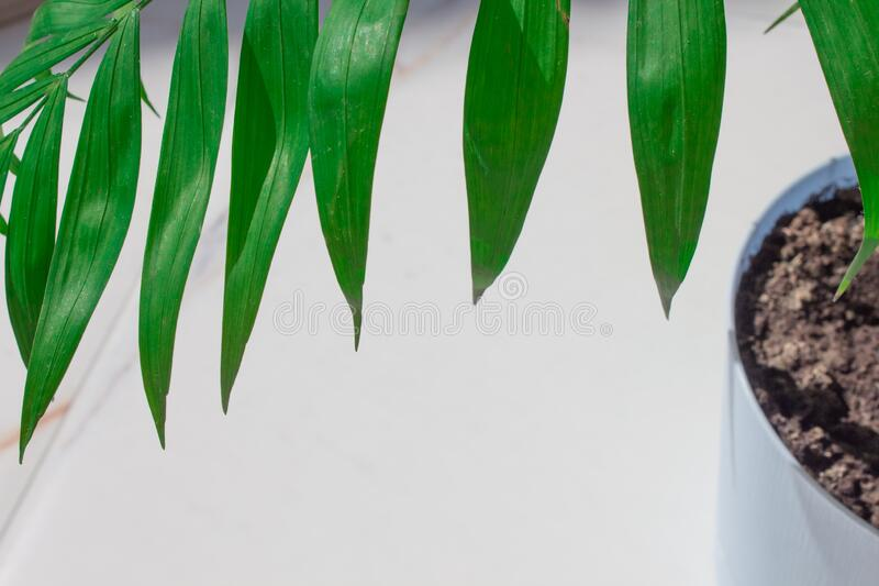 Green tropical palm in pastel blue flower pot.Tropical green leaf white background with text space.Summer concept.  royalty free stock photo