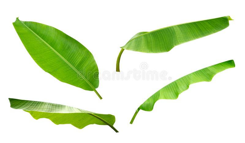 Green tropical plant banana leaves set isolated on white background, path royalty free stock images