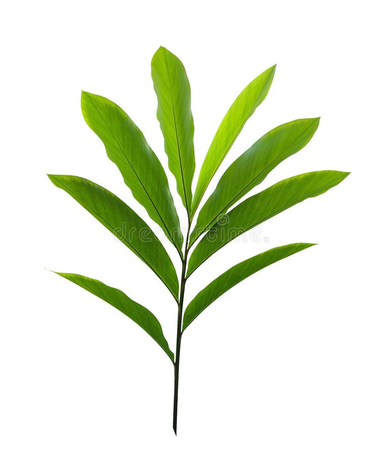 Green tropical plant red ginger leaves Alpinia purpurata isolated on white background, clipping path stock photography