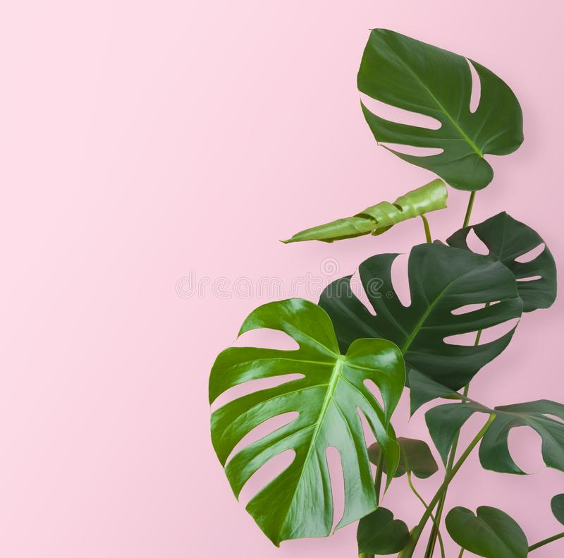 Green tropical plant stem and leaves isolated on pink background royalty free stock images