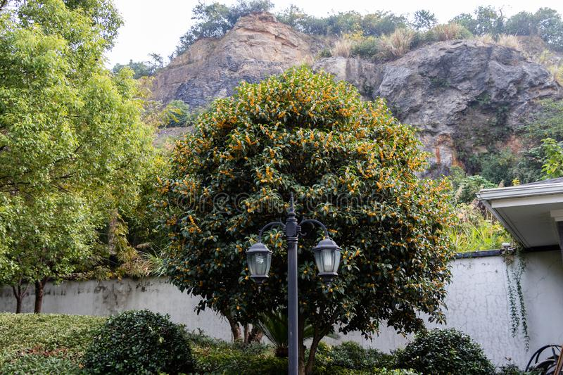 Green tropical tree with yellow flowers. Golden Flower Scented Osmanthus. A tree with a sweet scent. stock photo