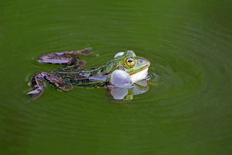 Green frog. A green true fro in a pond stock images
