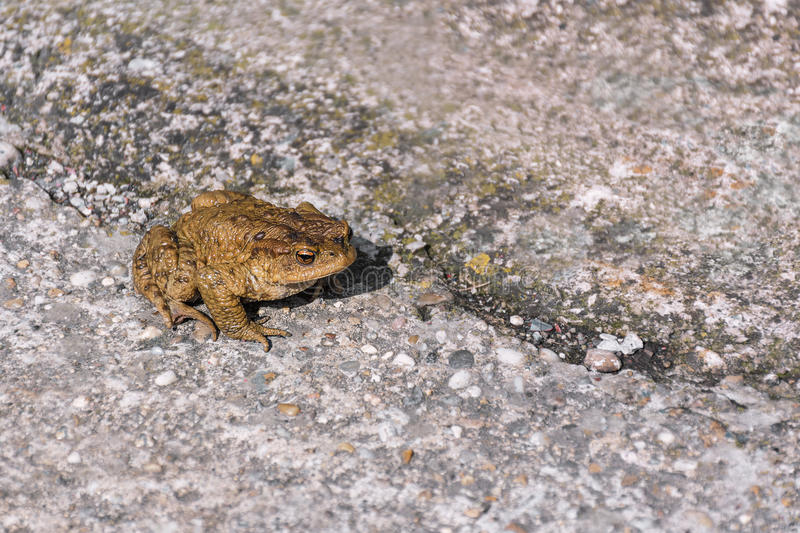 Green true toad sitting on the asphalt road. Green true toad sitting on gray rock near asphalt road royalty free stock photography