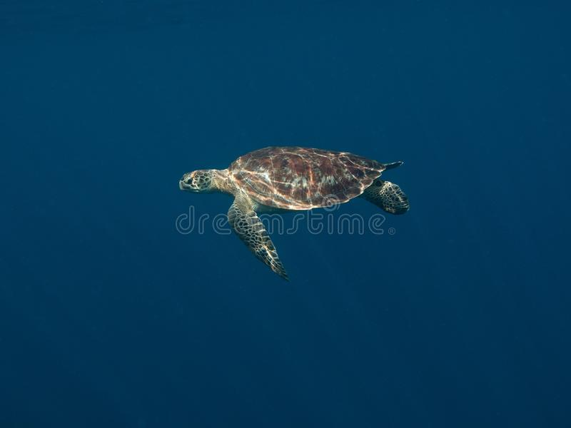 Green Turltle - Chelonia mydas. Marine life stock photo