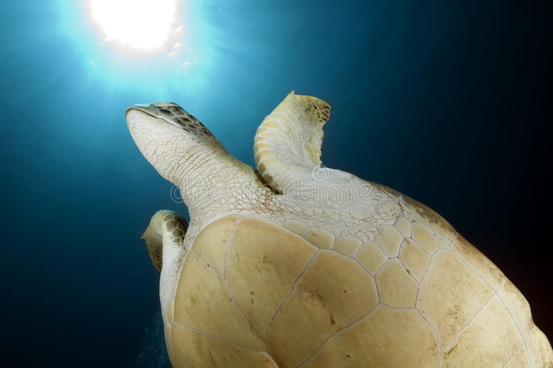 Download Green turtle stock photo. Image of tropical, green, marine - 10930614