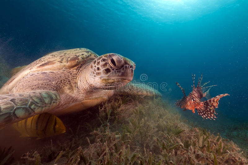 Green turtle and buddy Lionfish in the Red Sea. Green turtle and buddy Lionfish in the Red Sea royalty free stock image