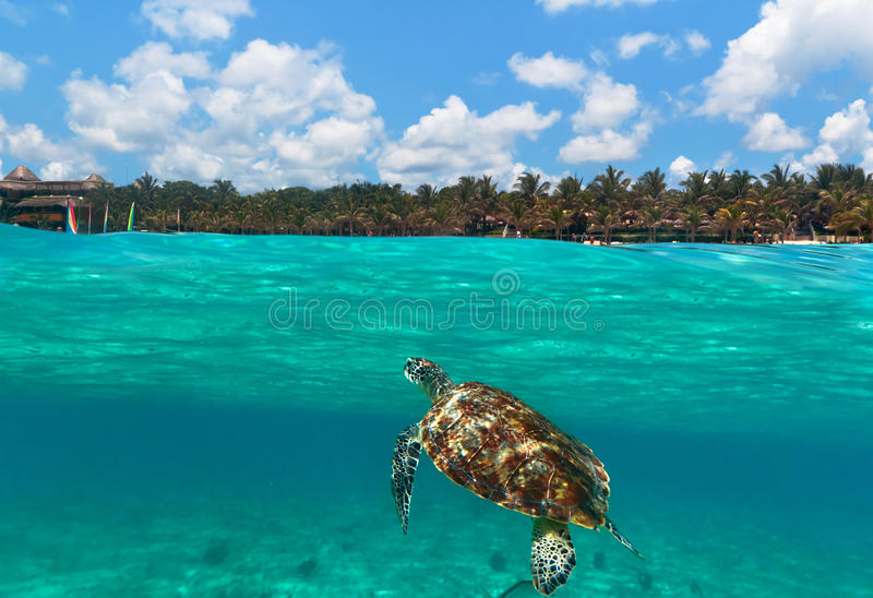 Download Green Turtle At Caribbean Beach Stock Image - Image: 21436195