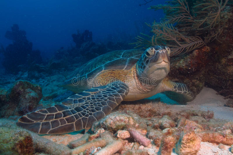 Green turtle. Turtle from the caribbean reefs stock images