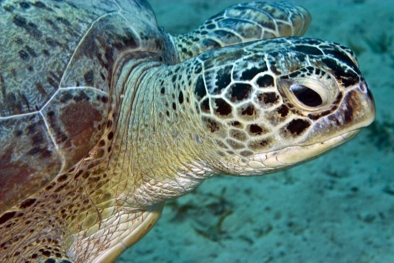 Green turtle (chelonia mydas). Taken in Na'ama bay, Sharm el sheikh royalty free stock images