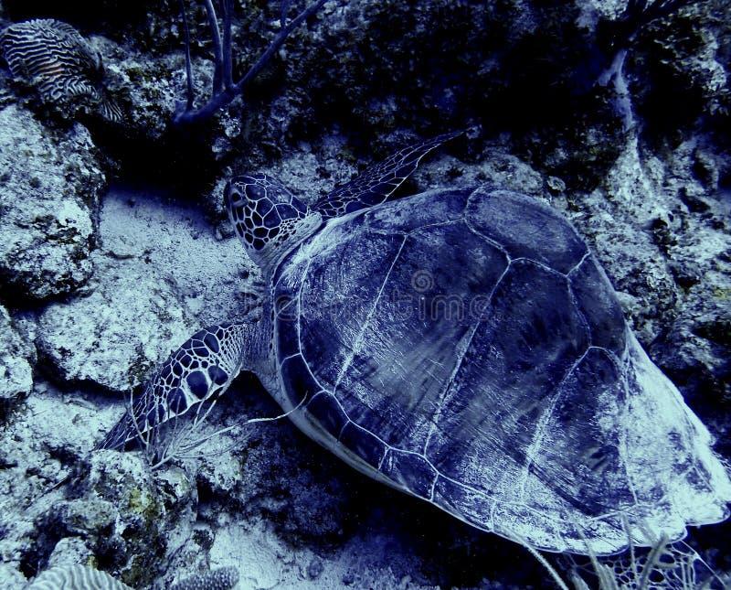Green turtle, eastcoast bonaire royalty free stock photo