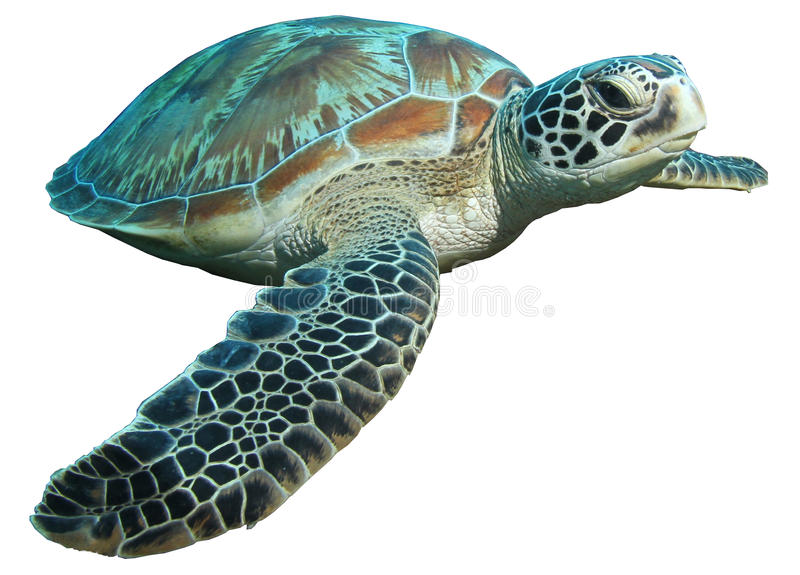 Green turtle (Chelonia mydas) isolated. A green sea turtle (Chelonia mydas) isolated on a white background royalty free stock photo