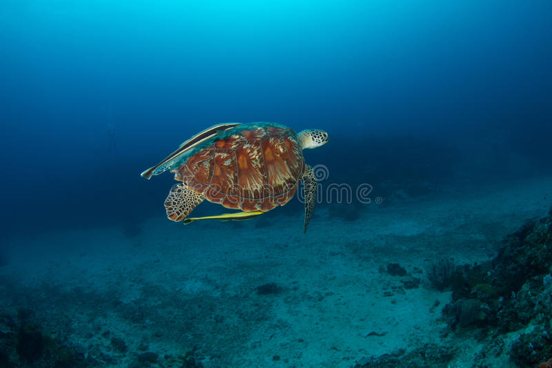 Green turtle (Chelonia mydas) with remora. A green turtle (Chelonia mydas) swimming with remora or suckerfish attached to its shell stock photo