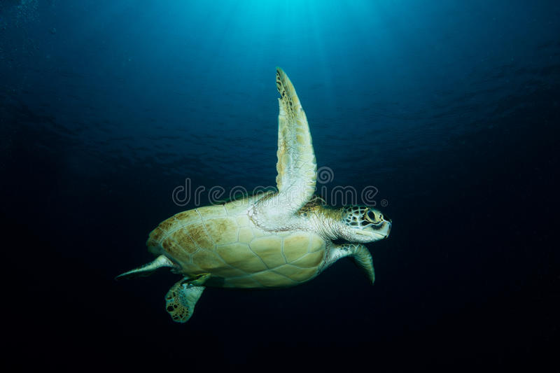 Green Turtle - Chelonia mydas. A Green Sea Turtle - Chelonia mydas - plays under the sun. Taken in Komodo National Park, Indonesia royalty free stock images