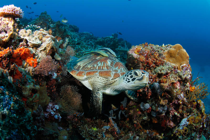 Download Green Turtle (Chelonia Mydas) In Tropical Reef Stock Image - Image: 21811485