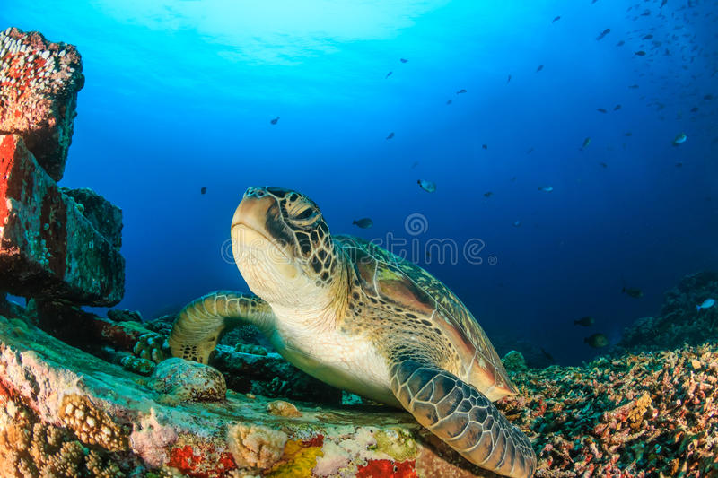 Green Turtle in clear blue water royalty free stock images