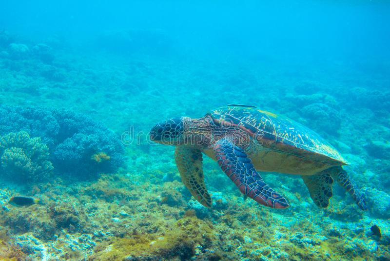 Green turtle in coral reef. Exotic marine turtle underwater photo. Oceanic reptile in wild nature. Summer vacation trip stock photography