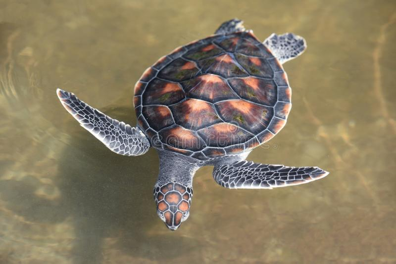 Green turtle farm and swimming on water pond - hawksbill sea turtle little. Green turtle farm and swimming on water pond / hawksbill sea turtle little stock image