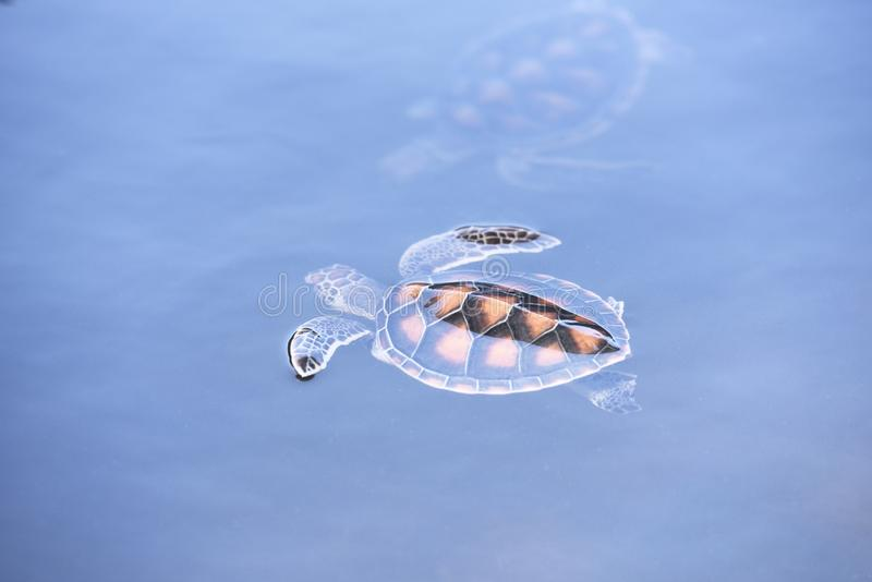 Green turtle farm and swimming on water pond - hawksbill sea turtle little stock images