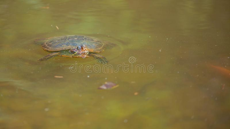 Green turtle floating on the lake. Head out of water royalty free stock photography