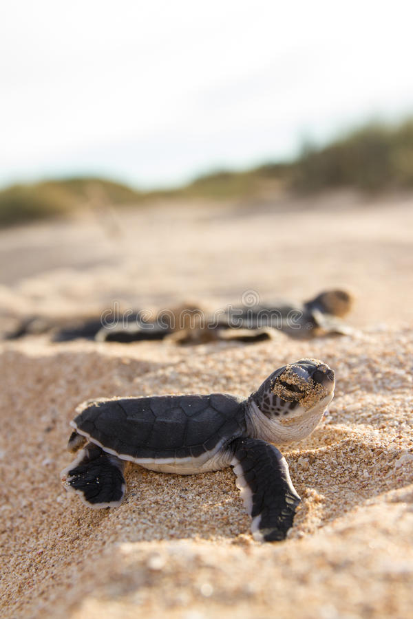 Green turtle hatchlings. Marine life, reptiles, Green Turtle cute hatchling coming out of the nest royalty free stock image