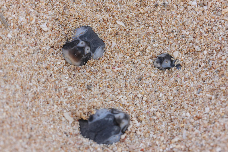 Green turtle hatchlings. Marine life, reptiles, Green Turtles cute hatchling coming out of the nest. little heads poking out royalty free stock image