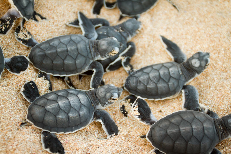 Green turtle hatchlings. Marine life, reptiles, Green Turtles cute hatchling coming out of the nest.lots stock image