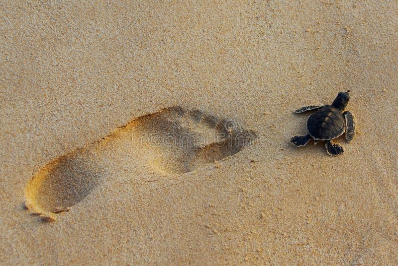 Green Turtle and Human Footprint stock photography