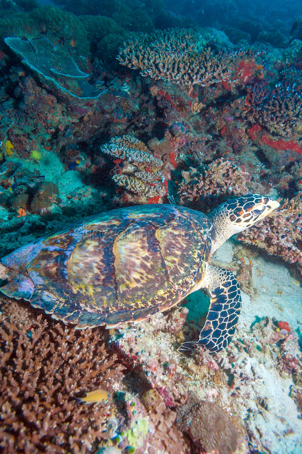 Green turtle laying on coral seabed Maldives royalty free stock photography