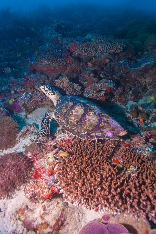 Green turtle laying on coral seabed Maldives stock image