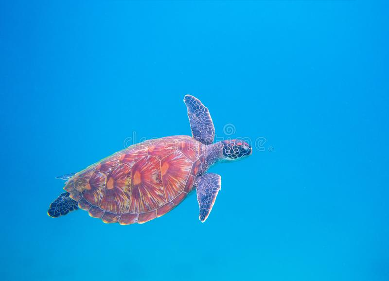 Green turtle in open sea. Tropical sea turtle underwater photo. Marine animal in sea water. Scuba diving banner template royalty free stock photography