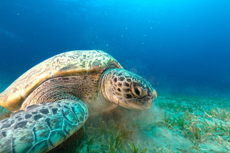 Green turtle in the Red Sea. Green turtle in the Red Sea royalty free stock photo